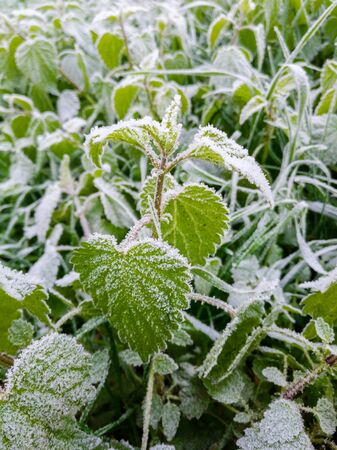 Green nettles in a field covered with morning frost. Cold autumn morning in nature.