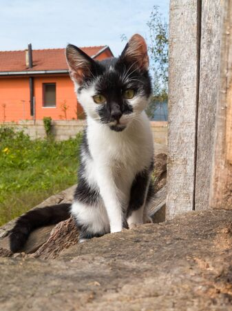 The young kitten walks cautiously around the yard and stares at everything around her, confused and curious. A little healthy lively kitten wanders around the garden.