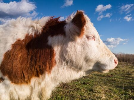 A portrait of a bull standing quietly on a pasture, in the wind of a cold winter day.