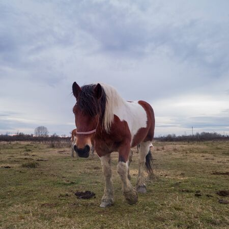 One tricolor horse walks towards the camera in the meadow during a cloudy day.