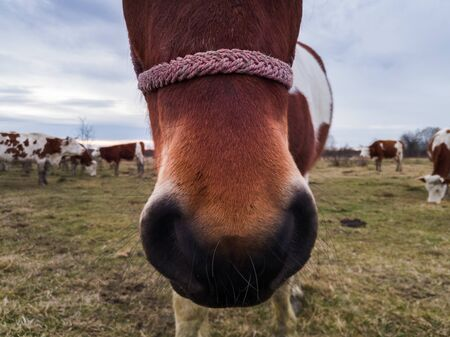 Close up shot of red horse muzzle in the meadow during overcast day, and cow herd in back.