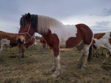Tricolor horse stands in pasture among cow herd  during cloudy day. Foto de archivo