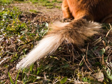 Ragged dog tail lies on ground in soft light. Domestic animal tail, pets tail.