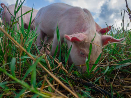 Newborn piglets in the meadow. Organic piggies on the organic rural  farm. Squeakers graze grass and plow the ground. Pigs in the pasture. Stok Fotoğraf