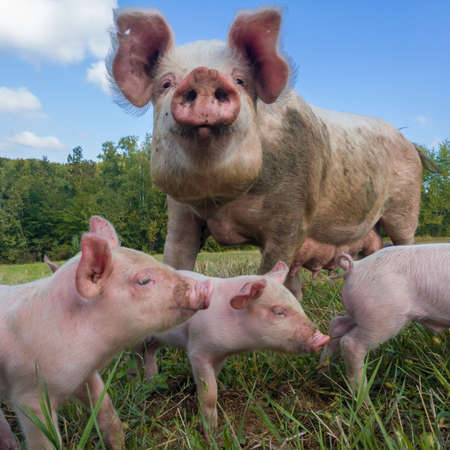 Sow watches the piglets in the meadow. Organic piggies on the organic rural farm. Rural piglets roam in field. Squeakers graze grass and plow the ground. Newborn pigs in the pasture.