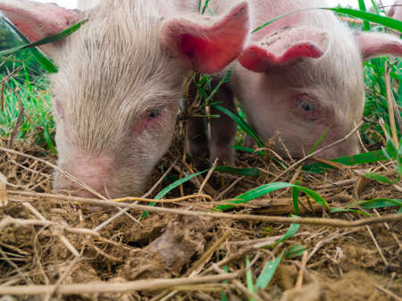 Newborn piglets in the meadow. Organic piggies on the organic rural farm. Squeakers graze grass and plow the ground. Pigs in the pasture. Archivio Fotografico