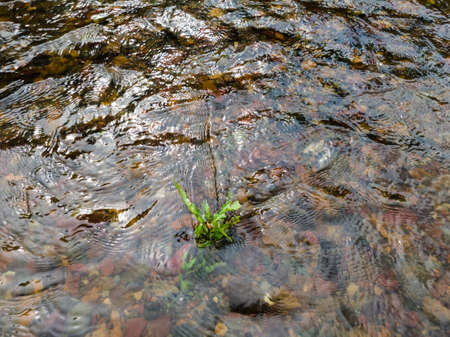 Wavy surface of water on shallow rapid stream with colorful gravel at bottom, water running around plant in creek, intimate landscape