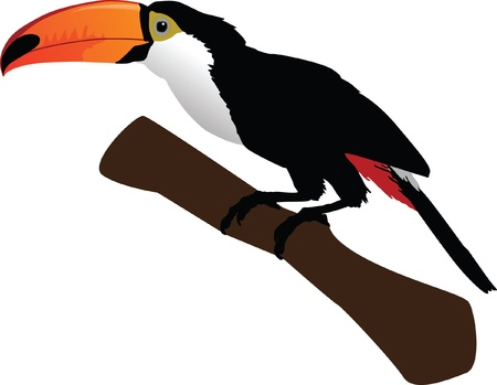 tucan: Beautiful toucan on branch color vector illustration