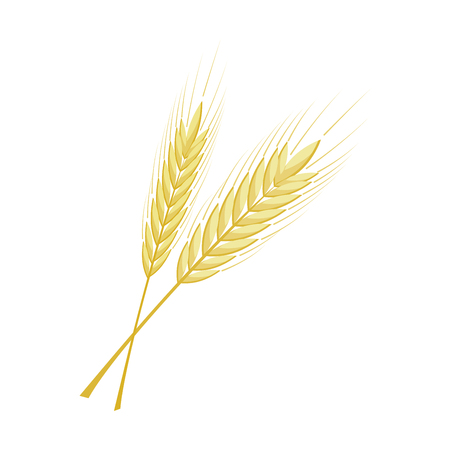 A vector bunch of wheat, rye or barley ears with whole grain and leaves, yellow wheat, rye or barley crop harvest symbol or icon isolated on white background,