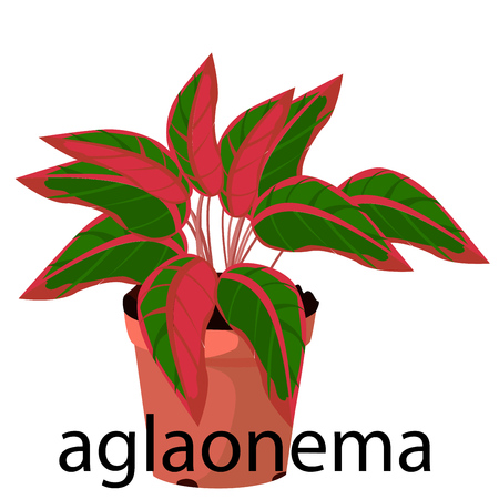 Aglaonema  pot for flowers, with earth, pink, for seedlings, pots Illustration