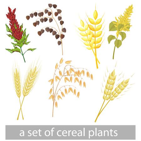 a set of different grains. Amaranth, kinoa, barley, buckwheat, oats, rye.