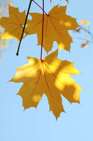 yellow maple leaves are in autumn on the branch photo