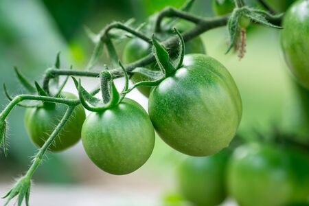 food plant: Green tomatoes growing on the branches. It is cultivated in the garden.