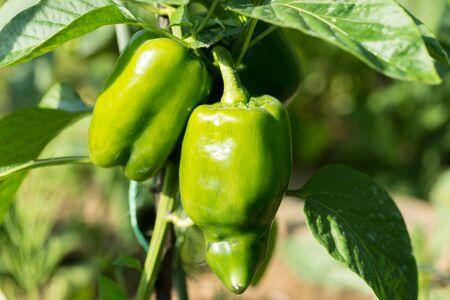 peppery: Green sweet peppers growing in the garden
