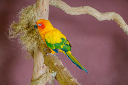 Sun Conure parrot macaw on a nest in contact zoo, purple background. 免版税图像