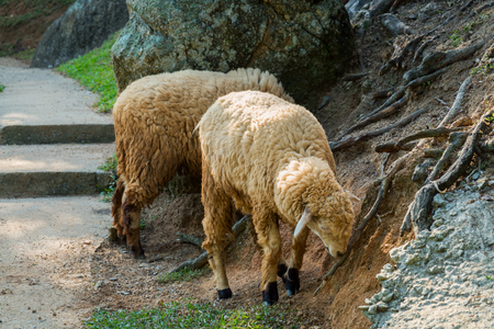 Animals. Funny family of sheep in a contact zoo
