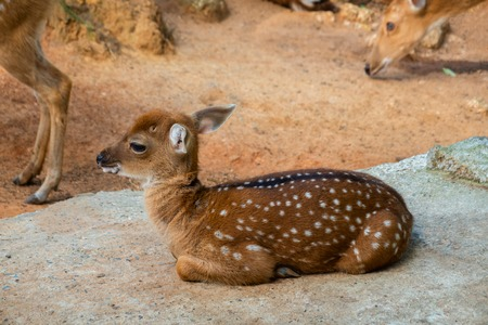 Spotted fallow Deer's lays down on the ground in contact zoo.