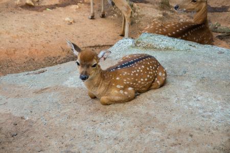 El gamo manchado se acuesta en el suelo en el zoológico de contacto.