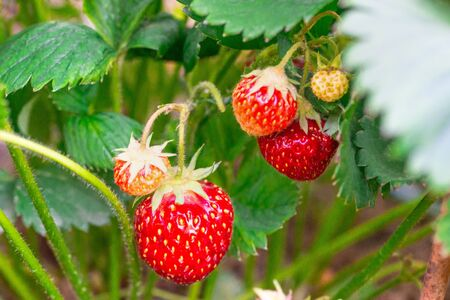 Harvesting of fresh ripe big red strawberry fruit in greenhouse Banque d'images