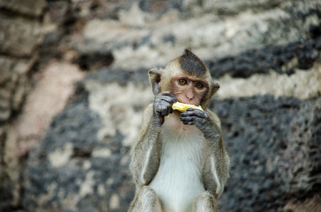 conglomeration: monkey eating carn Stock Photo