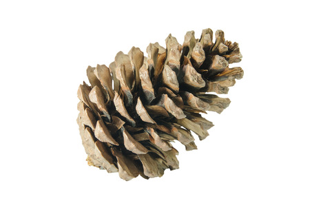 brown pine cone isolated on white background, include with clipping path