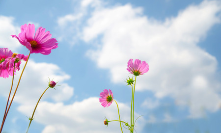 spp: cosmos flower,Comos spp,Compositae , color process