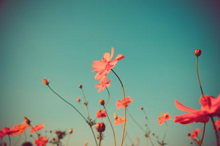 compositae: cosmos flower,Comos spp,Compositae , color process