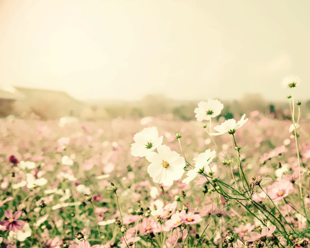 spp: cosmos flower,Comos spp,Compositae , color process vintage process Stock Photo
