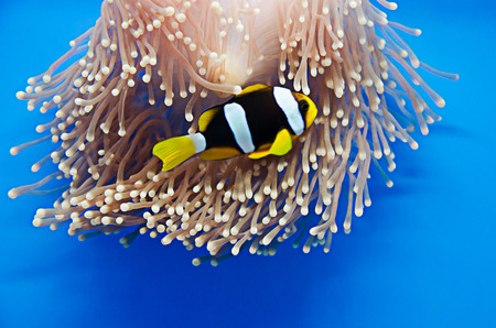 Clownfish, Anemonefish , on coral