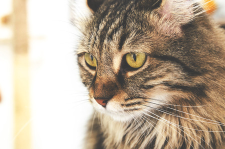 american curl: american curl cat looking outside , vintage filtter tone