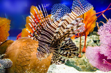 firefish: Lionfish, Turkeyfish, Firefish, Stock Photo