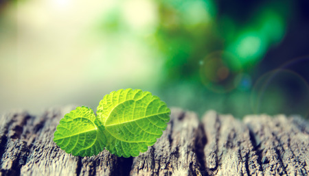 Fresh mint on rustic wooden background,selective focus