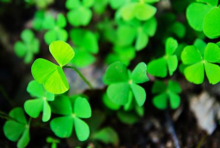 four leaf clovers: Green four leaf clovers