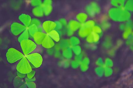 four leaf clovers: Green four leaf clovers Stock Photo