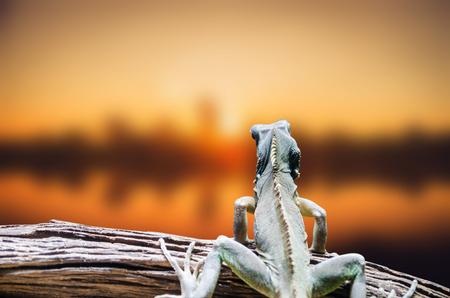 sunset lizard