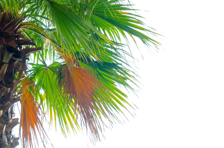 tropical evergreen forest: Plam tree on the white background (palm, tree, coconut)