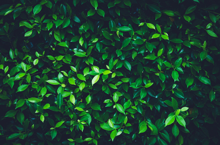Close up green galangal leaves abstract background Stock Photo