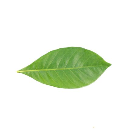 fresh green leaf on white background
