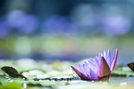 Beautiful waterlily or lotus flower in pond.