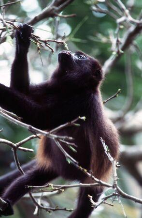 howler: Howler Monkey Stock Photo