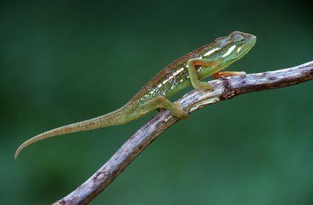africa chameleon: chameleon