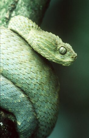 venom: Green Bush Viper
