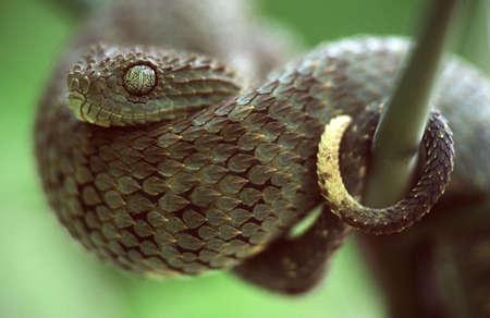 green bush viper Imagens