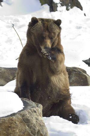 Cute Grizzly Bear