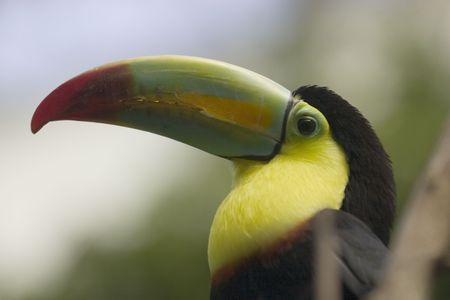 keel: Kee-billed Toucan