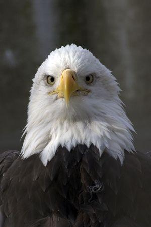 calvo: Aguila Calva