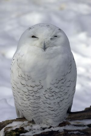 white owl: Snowy Owl in snow Stock Photo