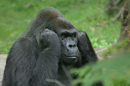 shutting: Disturbed gorilla shutting off the noise