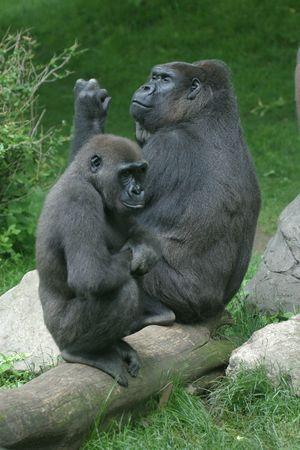 Two gorillas contemplating Stock Photo - 266500