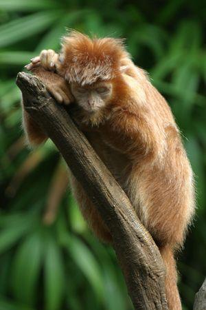 Sleeping ebony langur Stock Photo